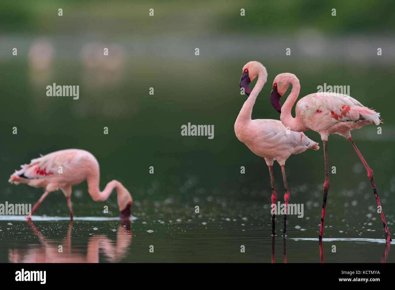 Lesser flamingo with clean background - Stock Image