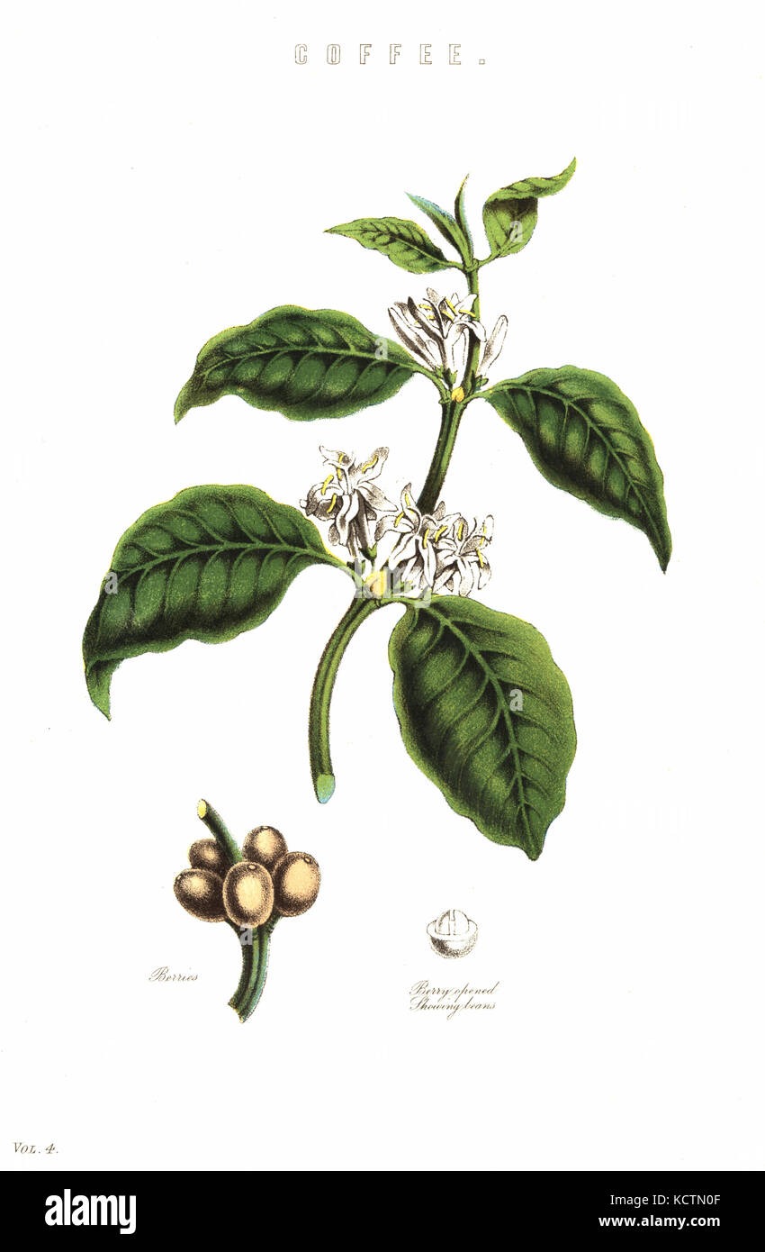 Coffee, Coffea arabica, plant showng flowers, berries and bean. Handcoloured lithograph from the National Encyclopaedia, - Stock Image