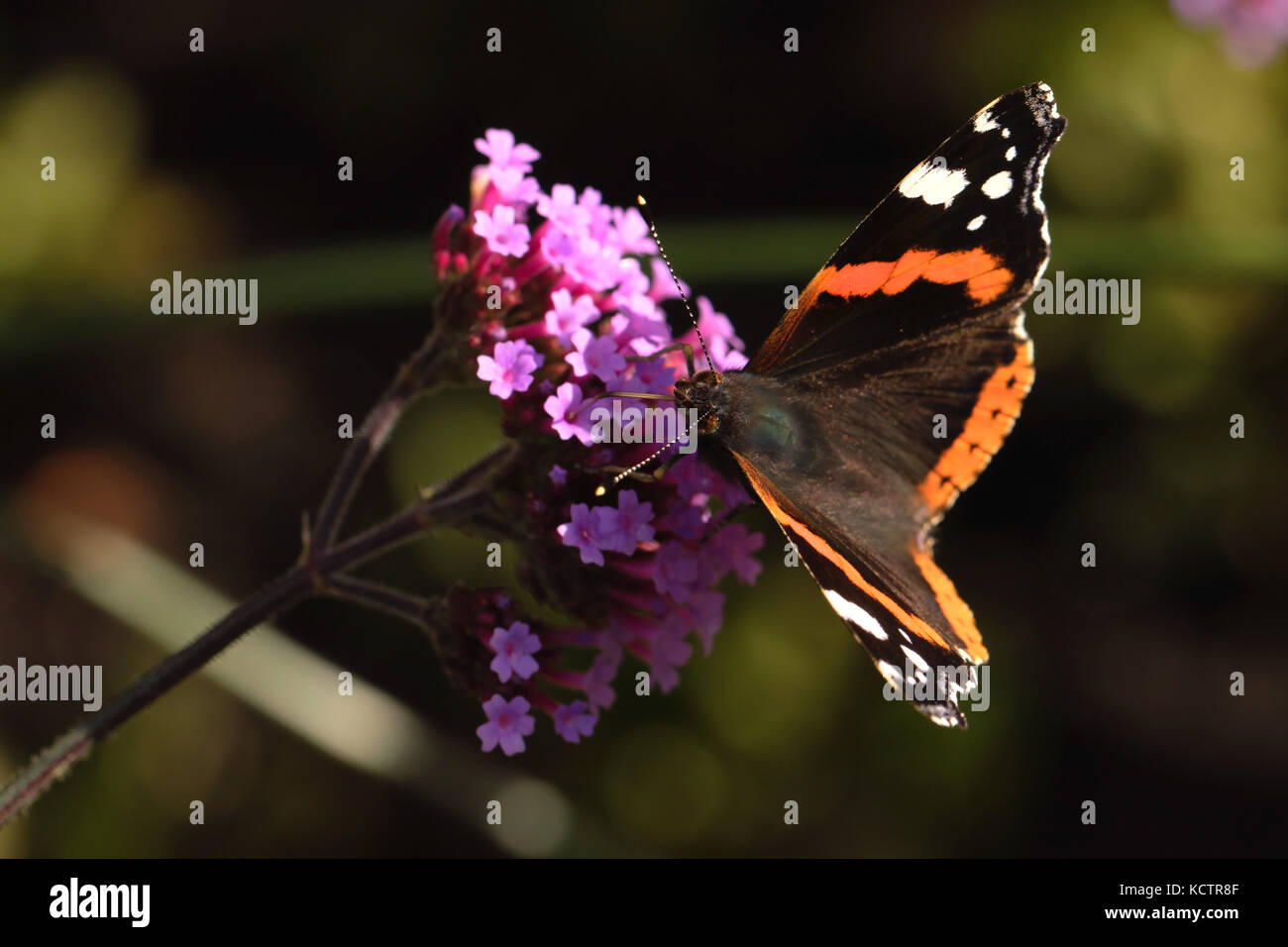 Red Admiral Butterfly feeding on Verbena bonariensis  Flower in The Valley Gardens,Harrogate,North Yorkshire,England,UK - Stock Image