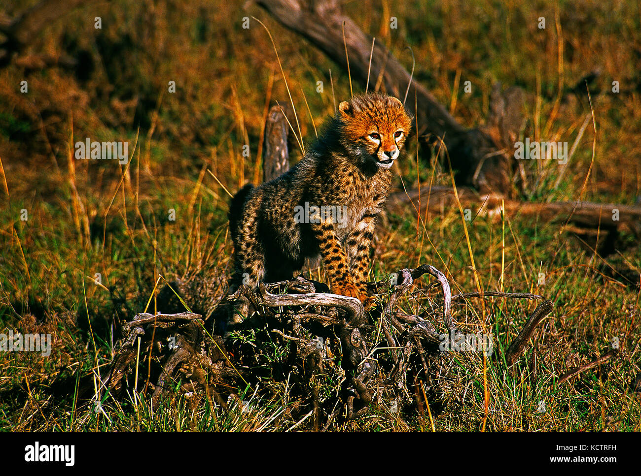 Africa. Kenya. Maasai Mara National Reserve. Wildlife.Cheetah cub. - Stock Image