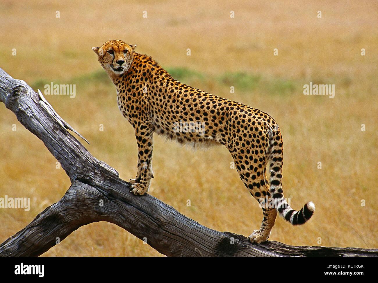 Africa. Kenya. Maasai Mara National Reserve. Wildlife. Cheetah. - Stock Image