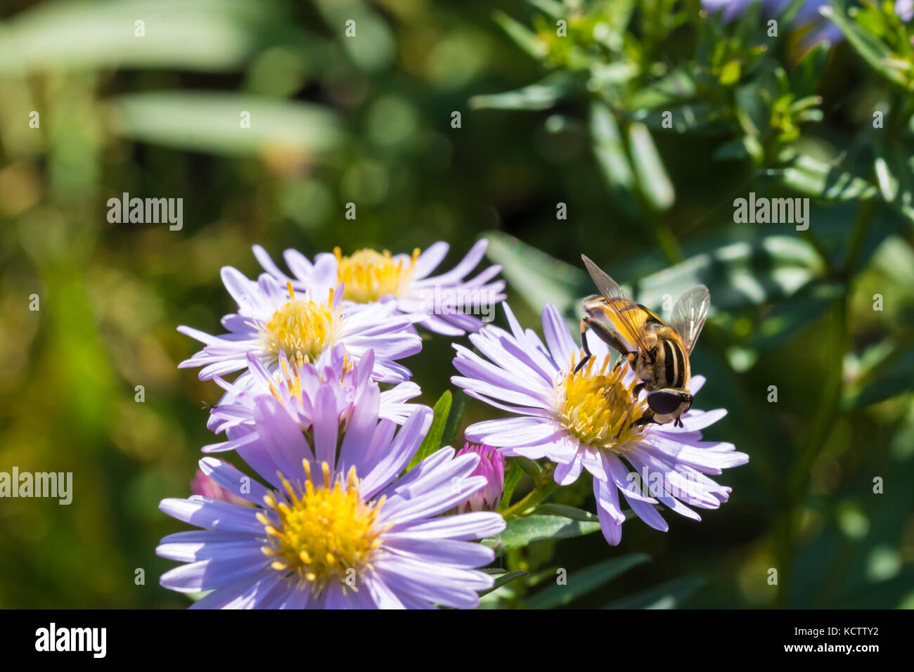 The honey bee sitting on a flower (Aster amellus) and feeding on nectar.  Close-up with selective focus. - Stock Image