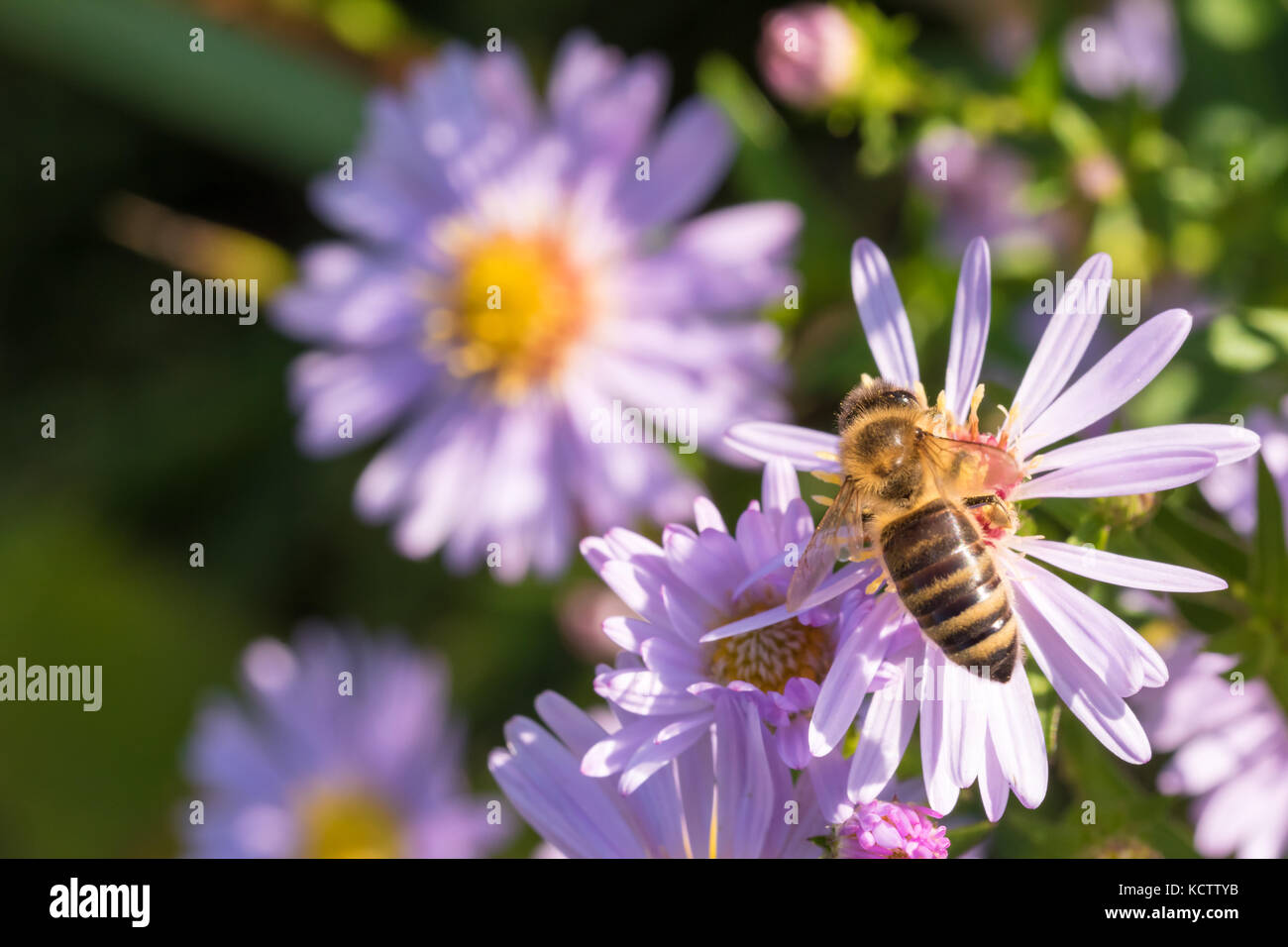 The honey bee sitting on a flower (Aster amellus) and feeding on nectar.  Close-up with selective focus. Stock Photo