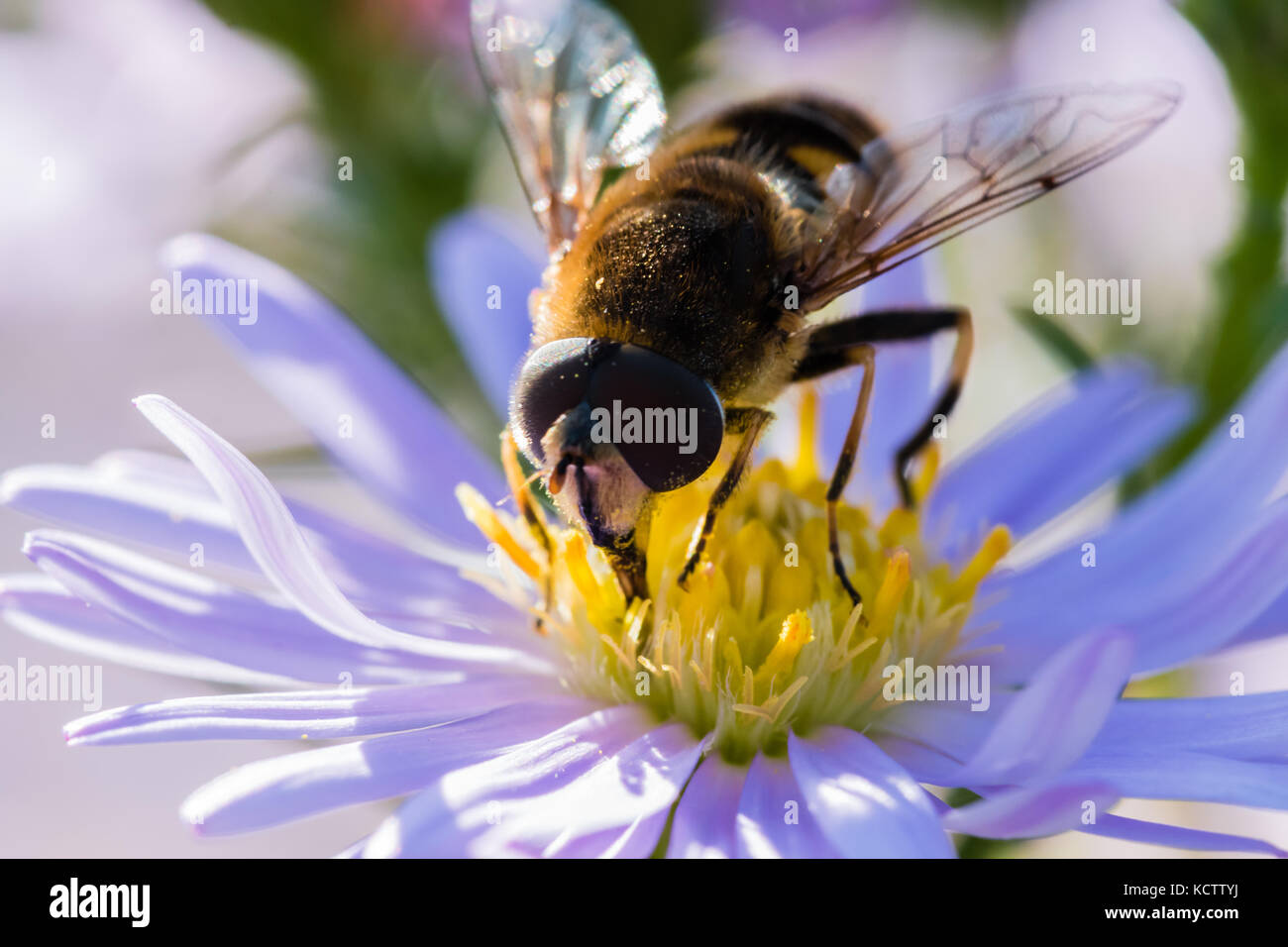 The small wasp sitting on a flower (Aster amellus) and feeding on nectar.  Close-up with selective focus. - Stock Image