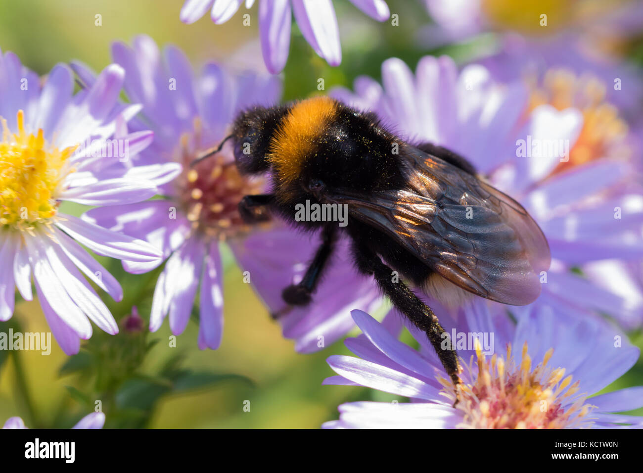 The bumblebee sitting on a flower (Aster amellus) and feeding on nectar.  Close-up with selective focus. - Stock Image