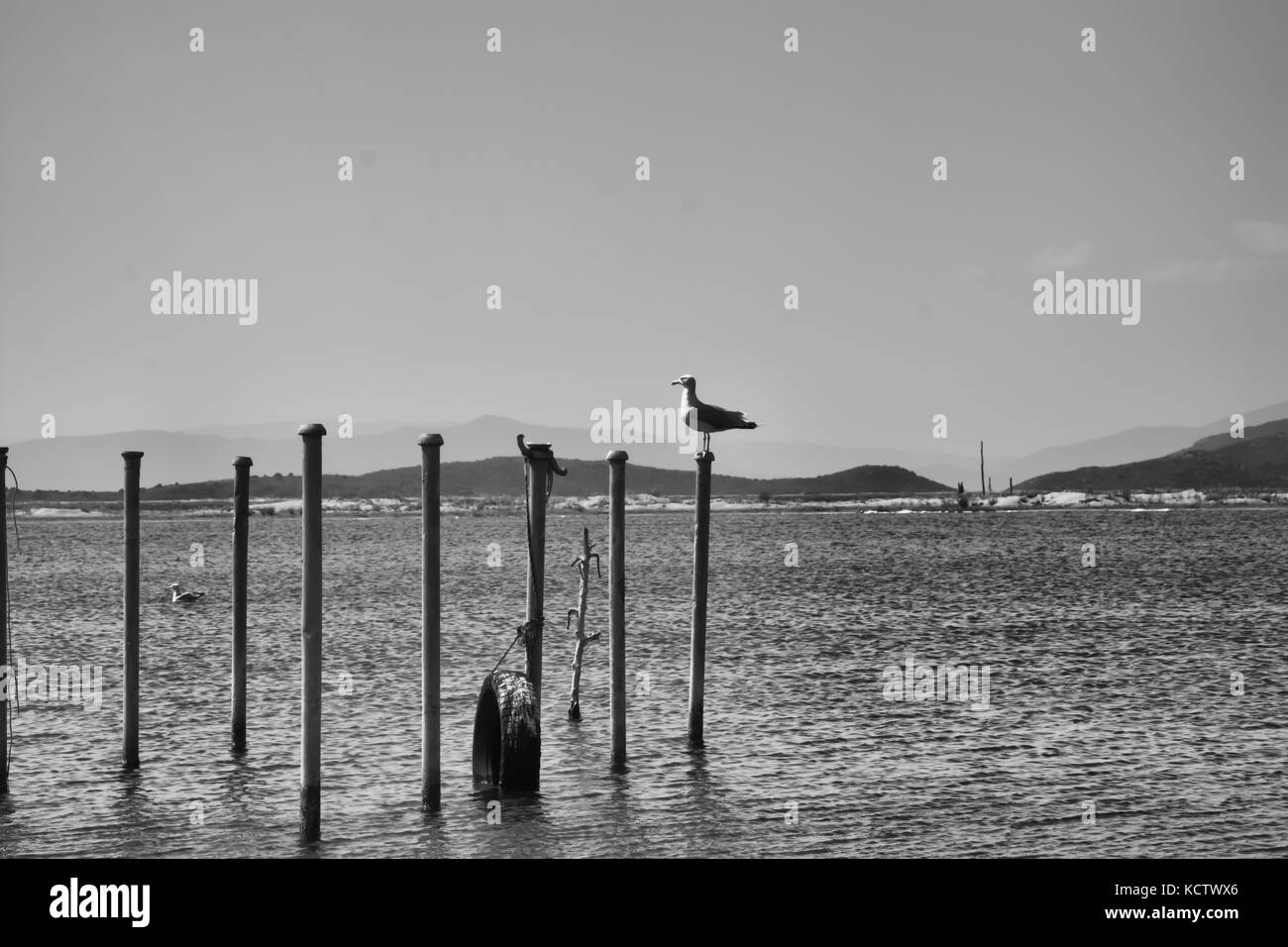 A seagull standing at a poll in Acheloos river mouth in black and white - Stock Image