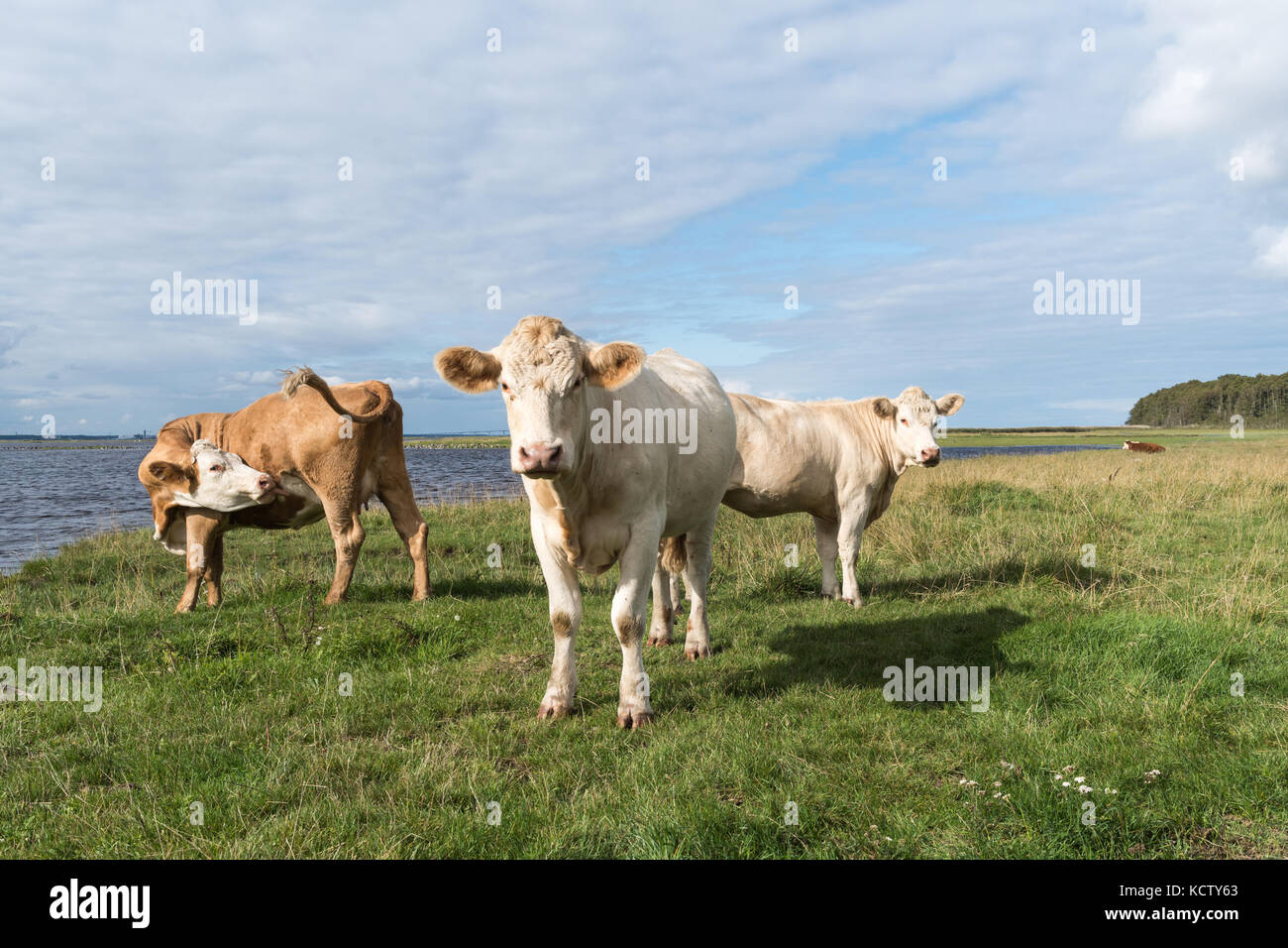 Courious cattle by seaside at the swedish island Oland - Stock Image