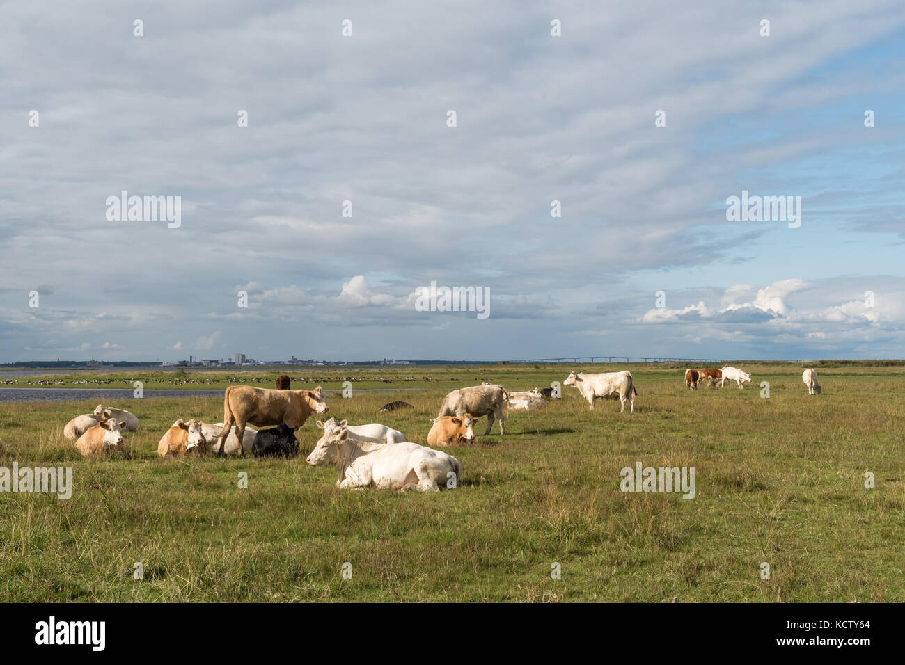 Peaceful view of resting cattle in a swedish coastal landscape at the island Oland - Stock Image