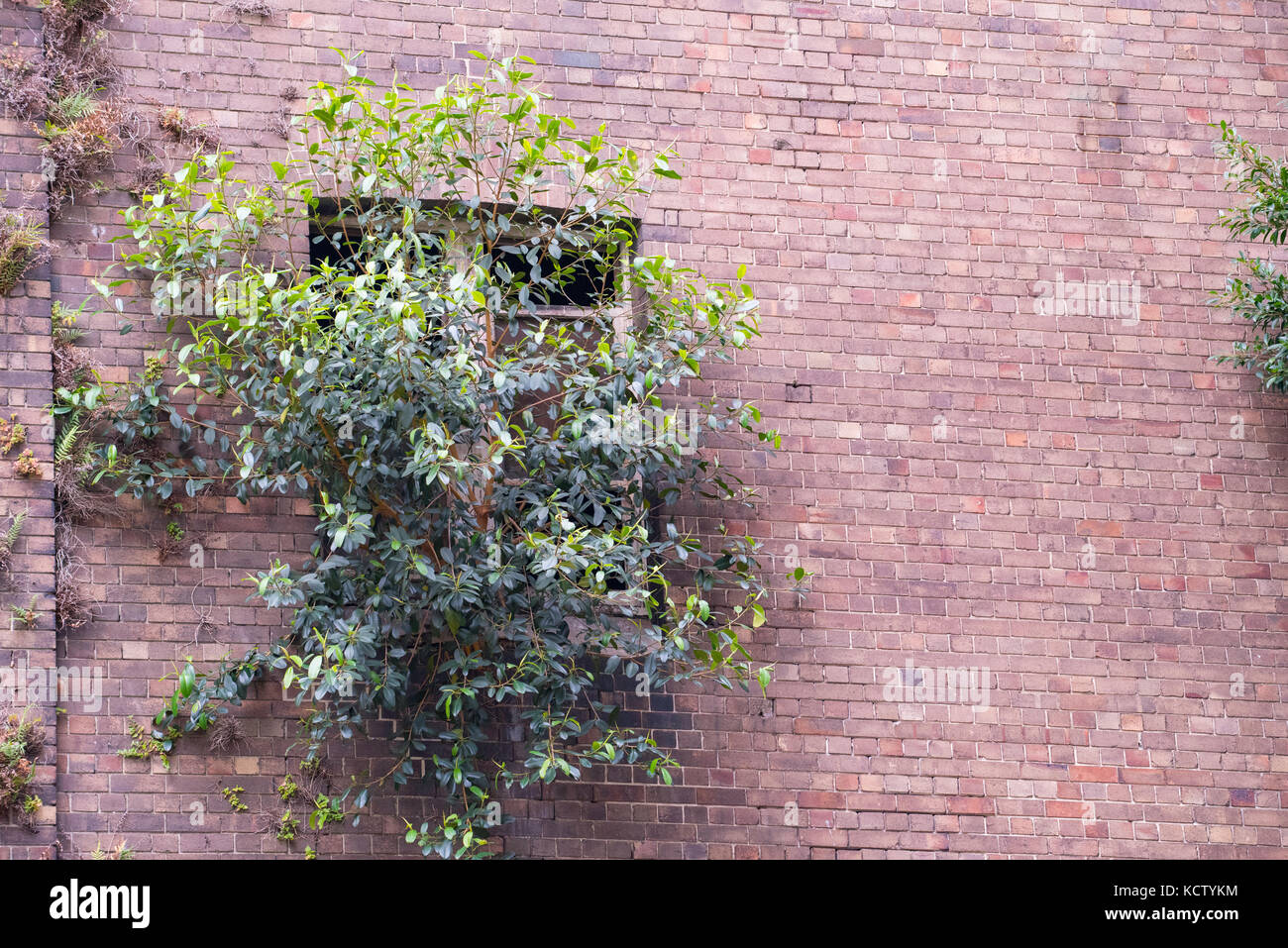 A shrub growing out of a window and brick wall from an abandoned factory in an older part of inner Sydney - Stock Image