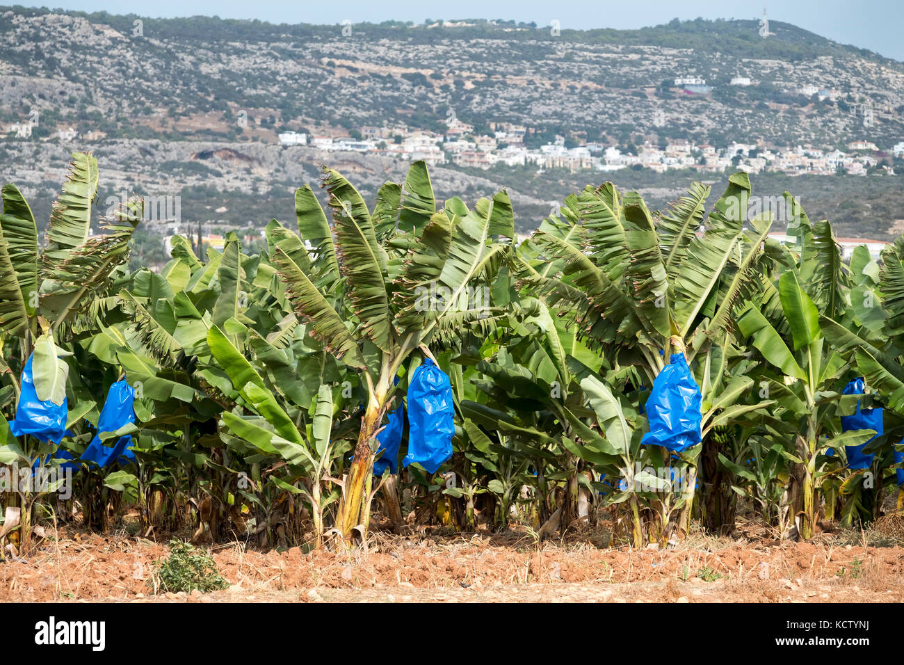banana plantation near Paphos in the Republic of Cyprus showing bananas covered by blue plastic for protection and - Stock Image