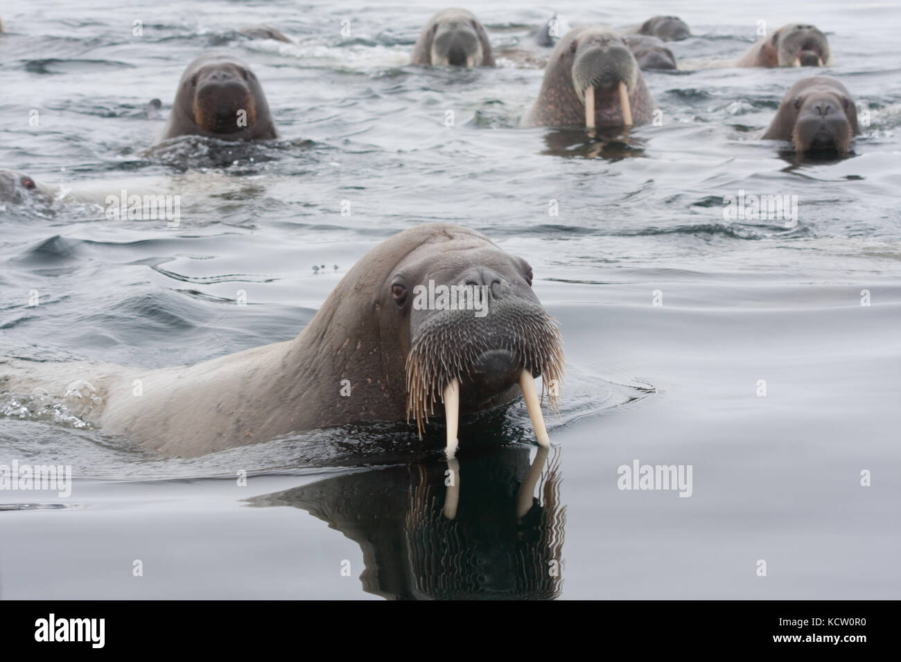 Group of Walrus (Odobenus rosmarus) swimming - Stock Image
