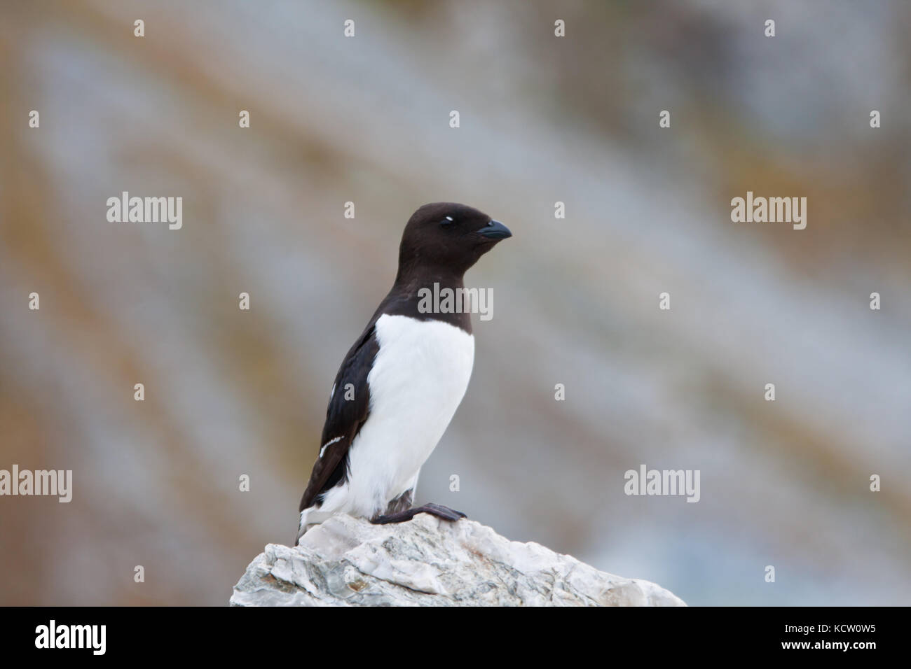 Little Auk or Dovekie (Alle alle) perching on a rock Stock Photo