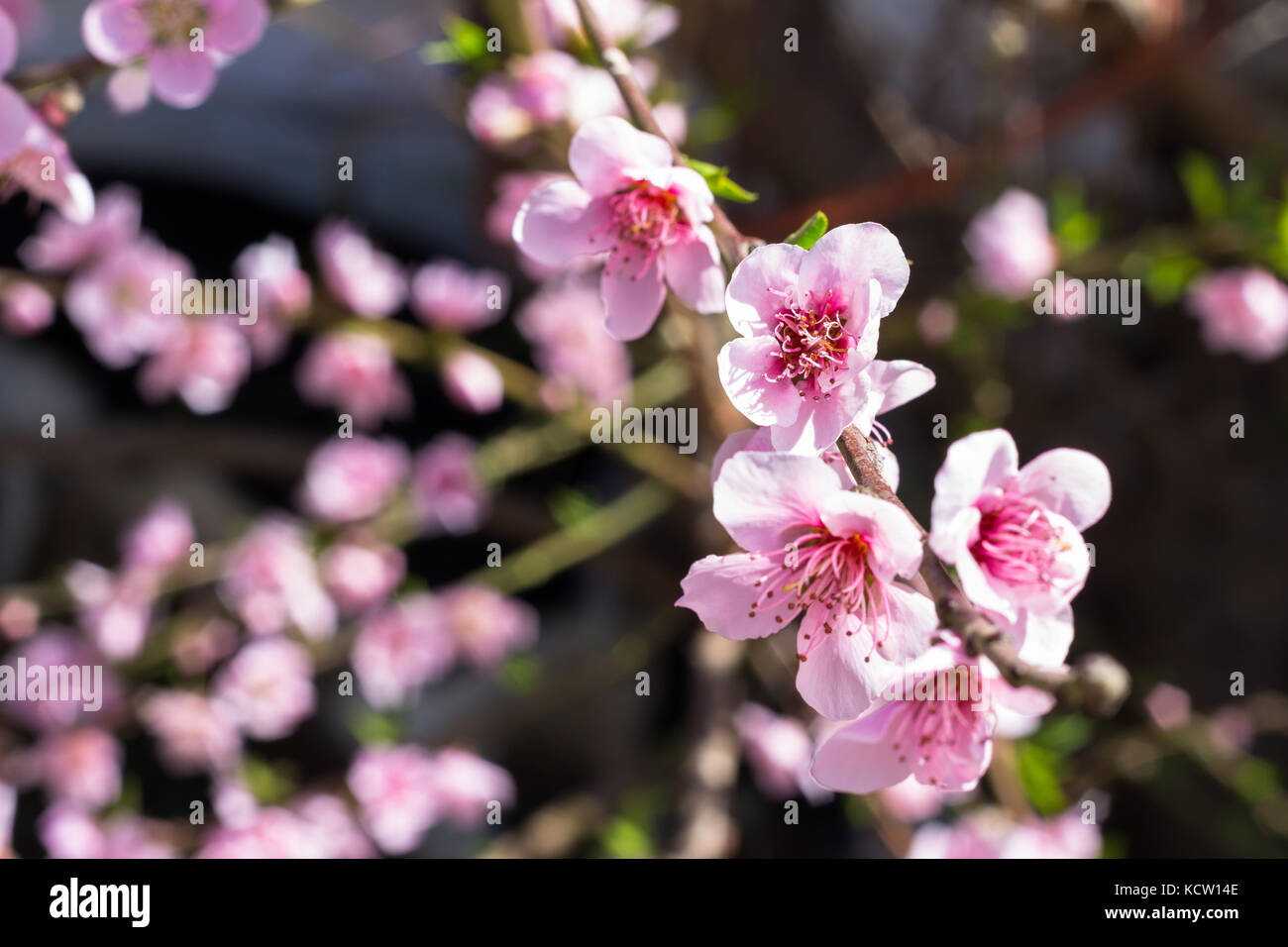 Pink peach blossoms with blurred background - Stock Image