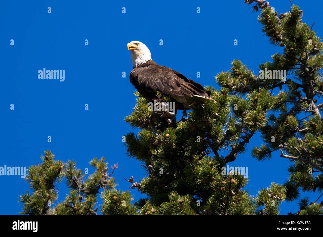 Bald Eagle (Haliaeetus leucocephalus) Perched on a tree top, looking for food. Cranbrook area, British Columbia, - Stock Image