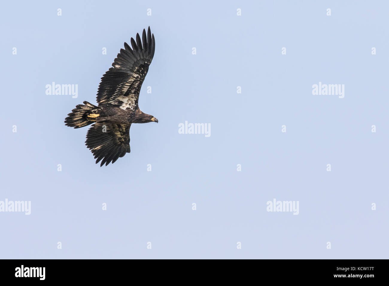 Golden Eagle (Aquila chrysaetos) Full wing span, as eagle soars, In search of food, Cranbrook, British, Columbia, - Stock Image