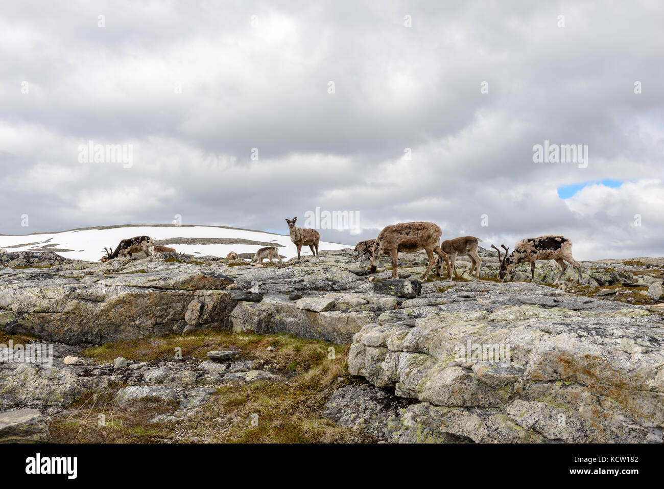 Picture is taken on a hike up Kjølen (mountain). Group of reindeer. July. Kvaløya, Tromsø, Norway. - Stock Image