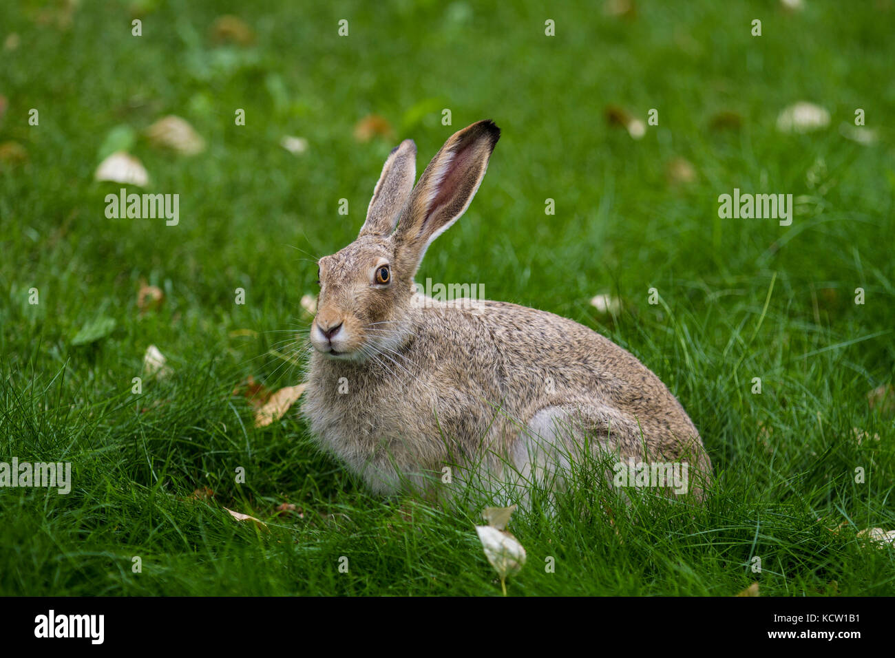 Cottontail Rabbit (Sylvilagus floridanus) City cottontail, remainng motionless, sitting in the green grass, looking - Stock Image