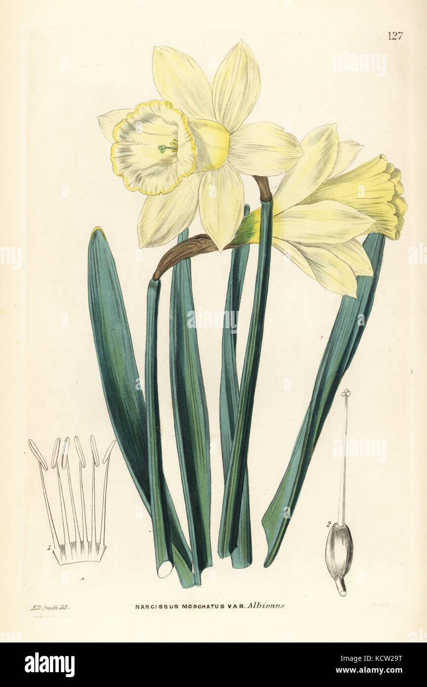 Wild daffodil, Narcissus pseudonarcissus subsp. moschatus (Greatest Spanish white narcissus, Narcissus moschatus Stock Photo