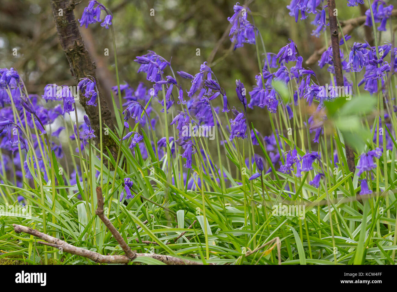 Blue bells in woodland Rudgwick UK carpet of colour on woodland floors. Bulbous perennial  narrow green basal leaves - Stock Image