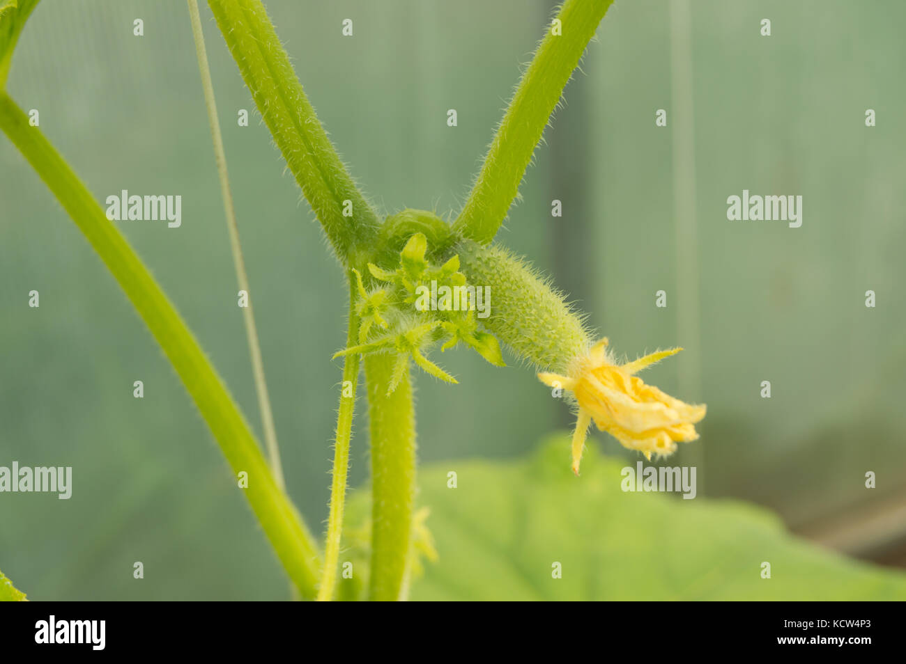 Young plants are green cucumbers with flowers hanging on the branch. Stock Photo