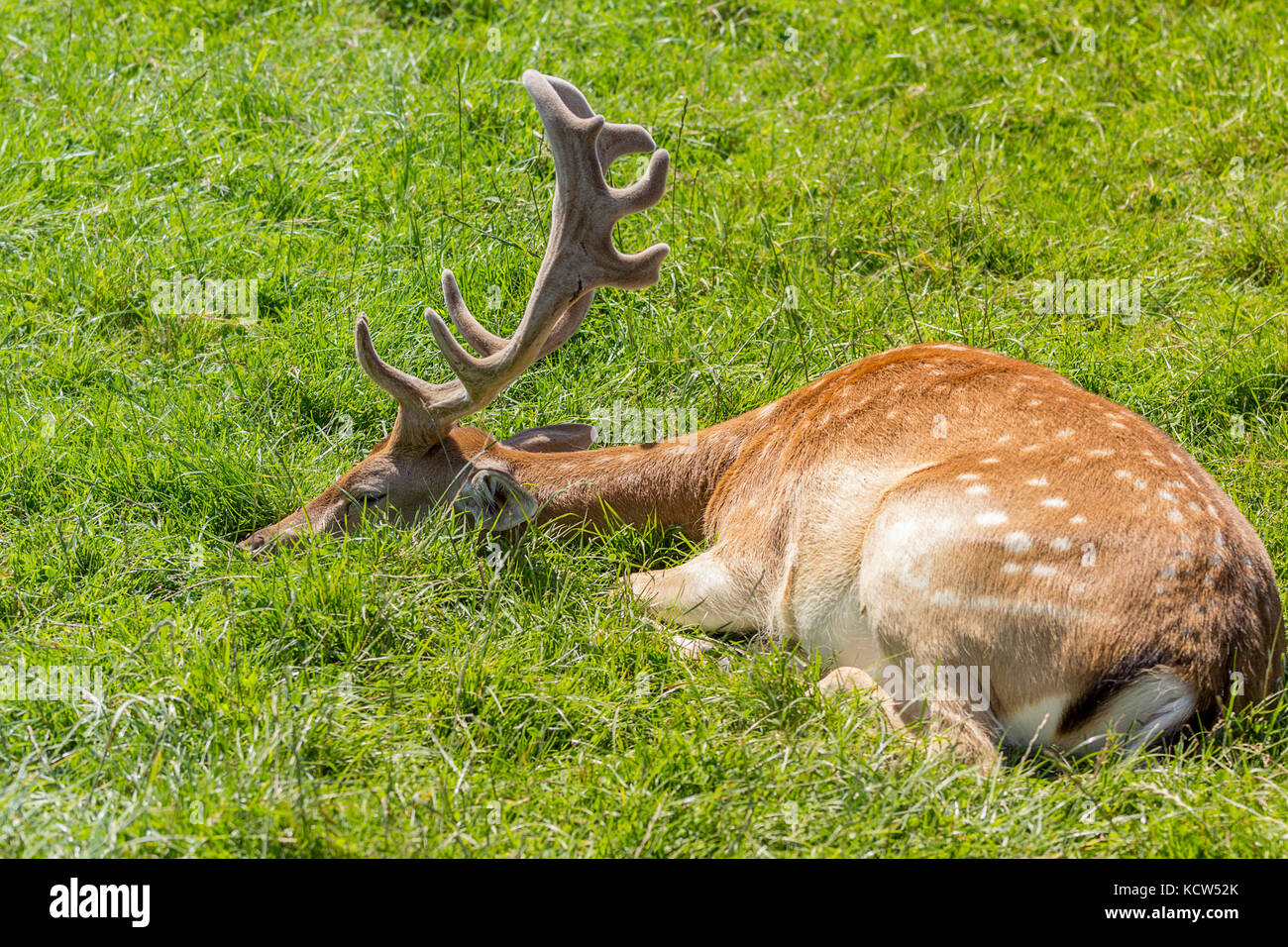 Fallow deer lying down on grass at British wildlife centre in Lingfield Surrey UK. Showing blade type antlers and - Stock Image