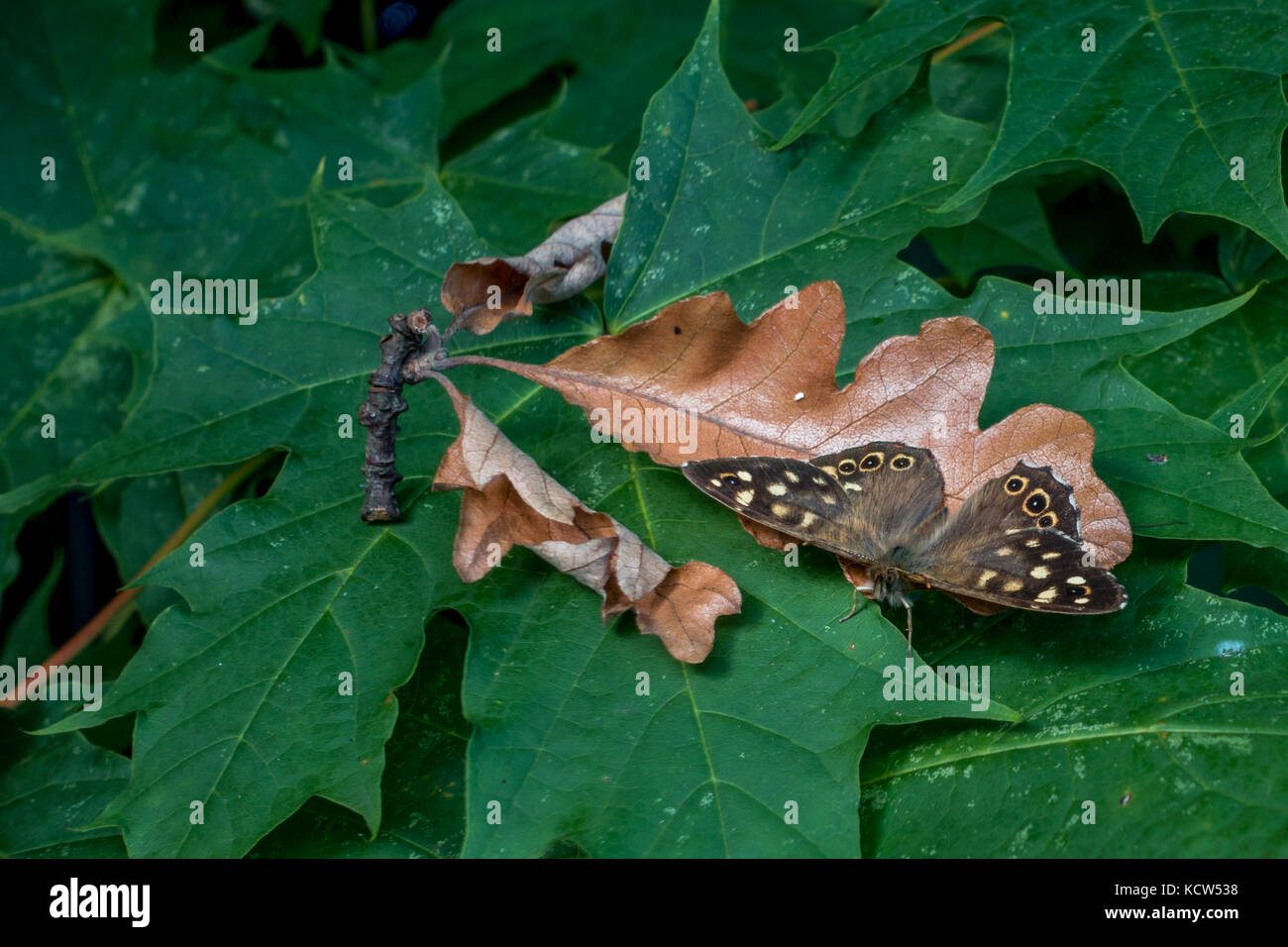 UK wildlife: Speckled wood butterfly resting on an autumn leaf in camouflage, mirroring the edge of the leaf Stock Photo