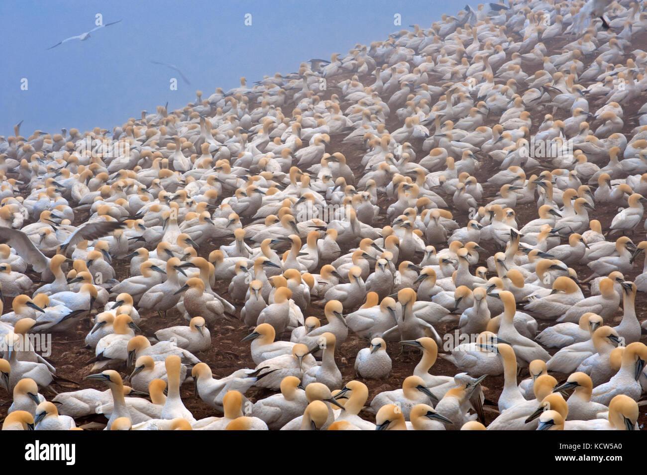 Colony of northern gannets (Morus bassanus) Gaspé Peninsula. , Bonaventure Island, Quebec, Canada - Stock Image