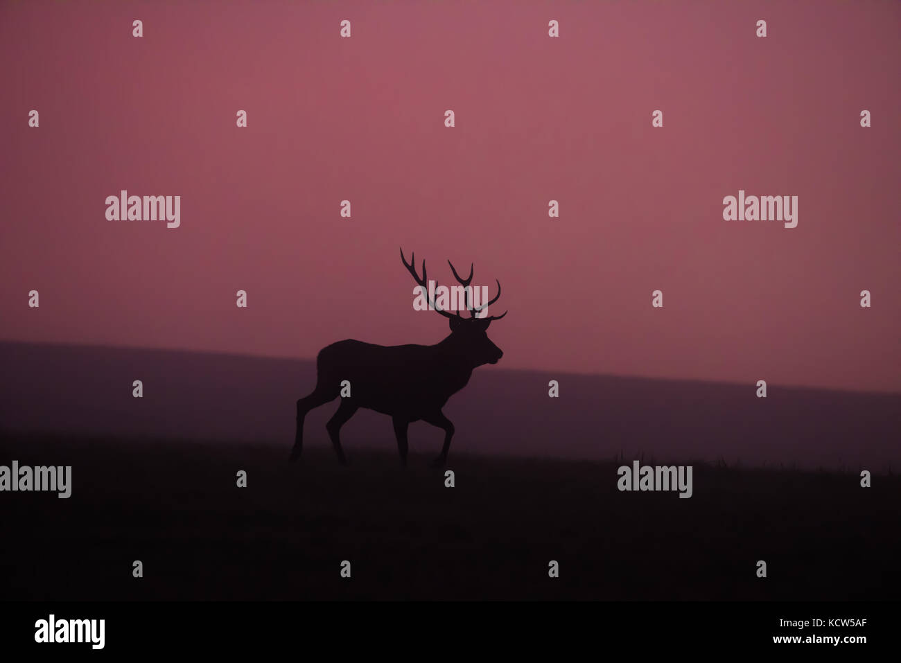 Red deer in foggy twilight. Rutting season. - Stock Image