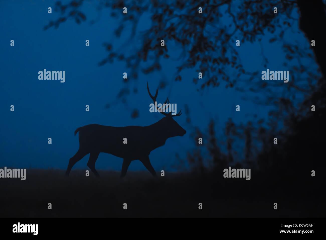 Red deer in foggy twilight. Rutting season. - Stock Image