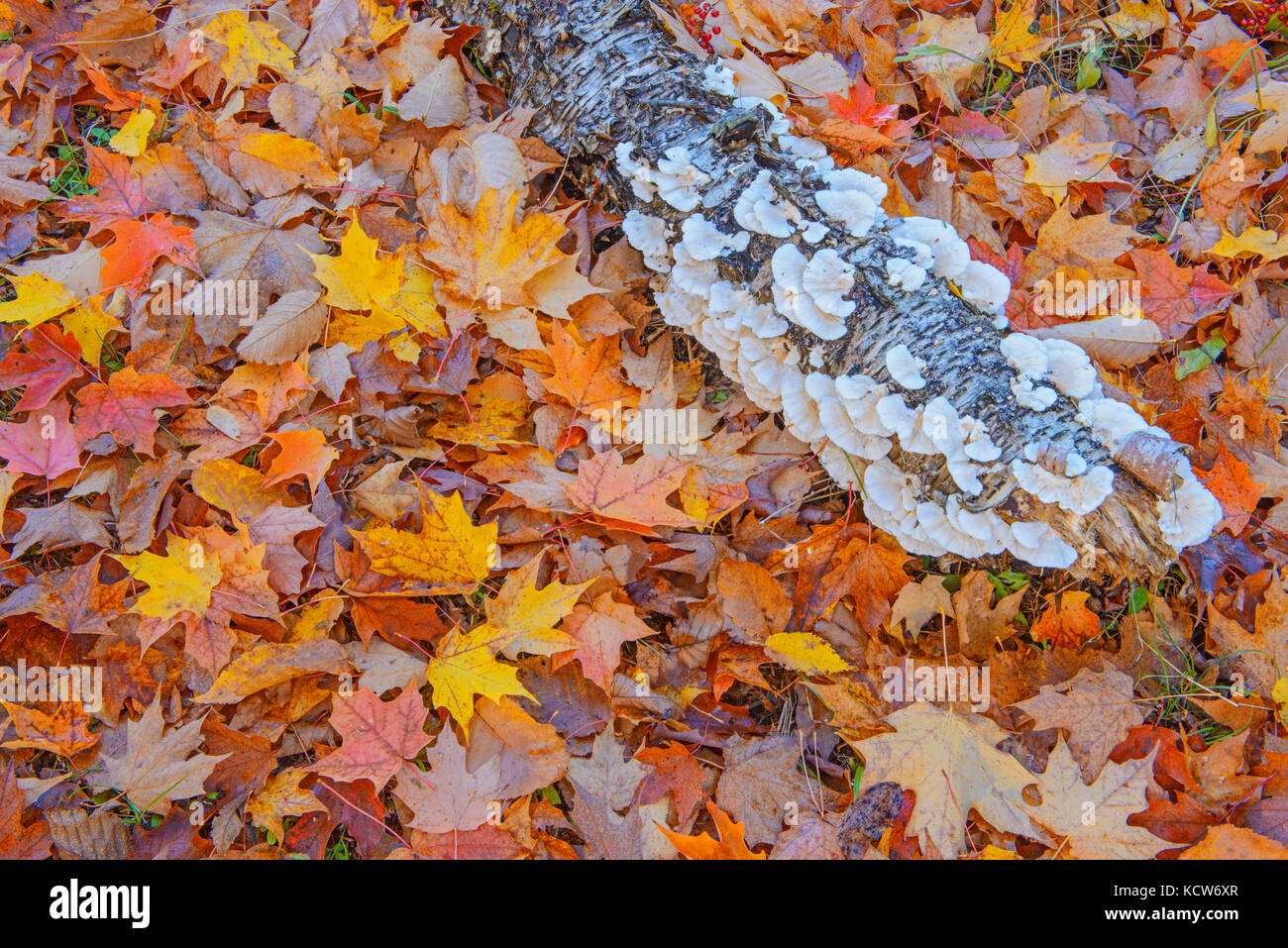 sugar maple leaves (Acer saccharum) and log covered with bracket fungi in autumn, Fairbank Provincial Park, Ontario, - Stock Image