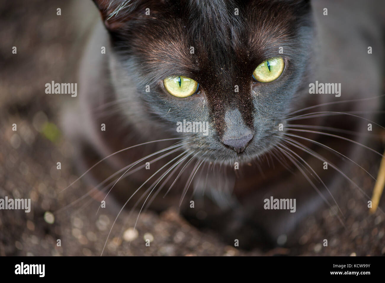 Black Cat Staring Intently - Stock Image