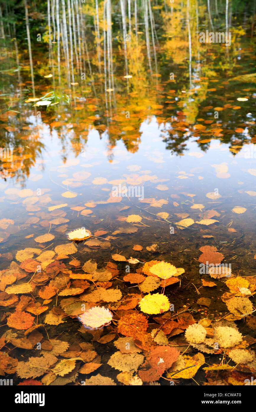 Golden autumn leaves in water and tree reflections in background in autumn season - Stock Image