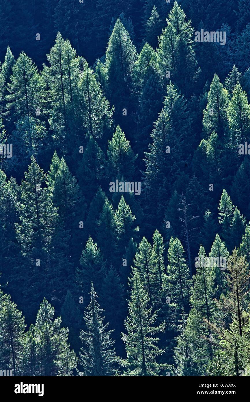 Coniferous forest on hillside of Monashee Mountains, Moyie, British Columbia, Canada - Stock Image