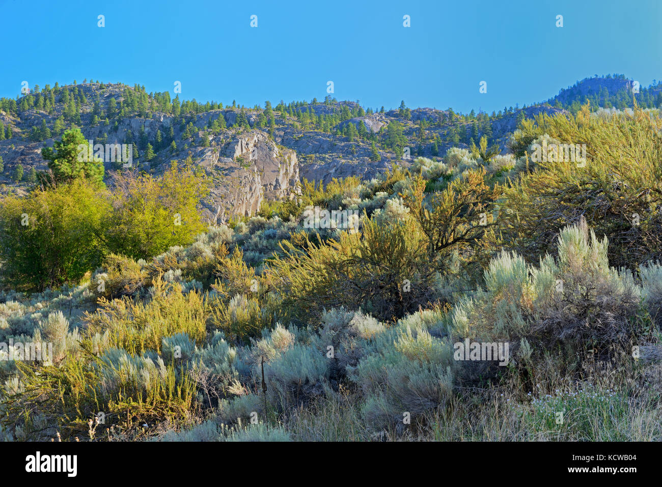 Sagebrush in Antelope-brush ecosystem, Okanagan Valley, Osoyoos, British Columbia, Canada - Stock Image