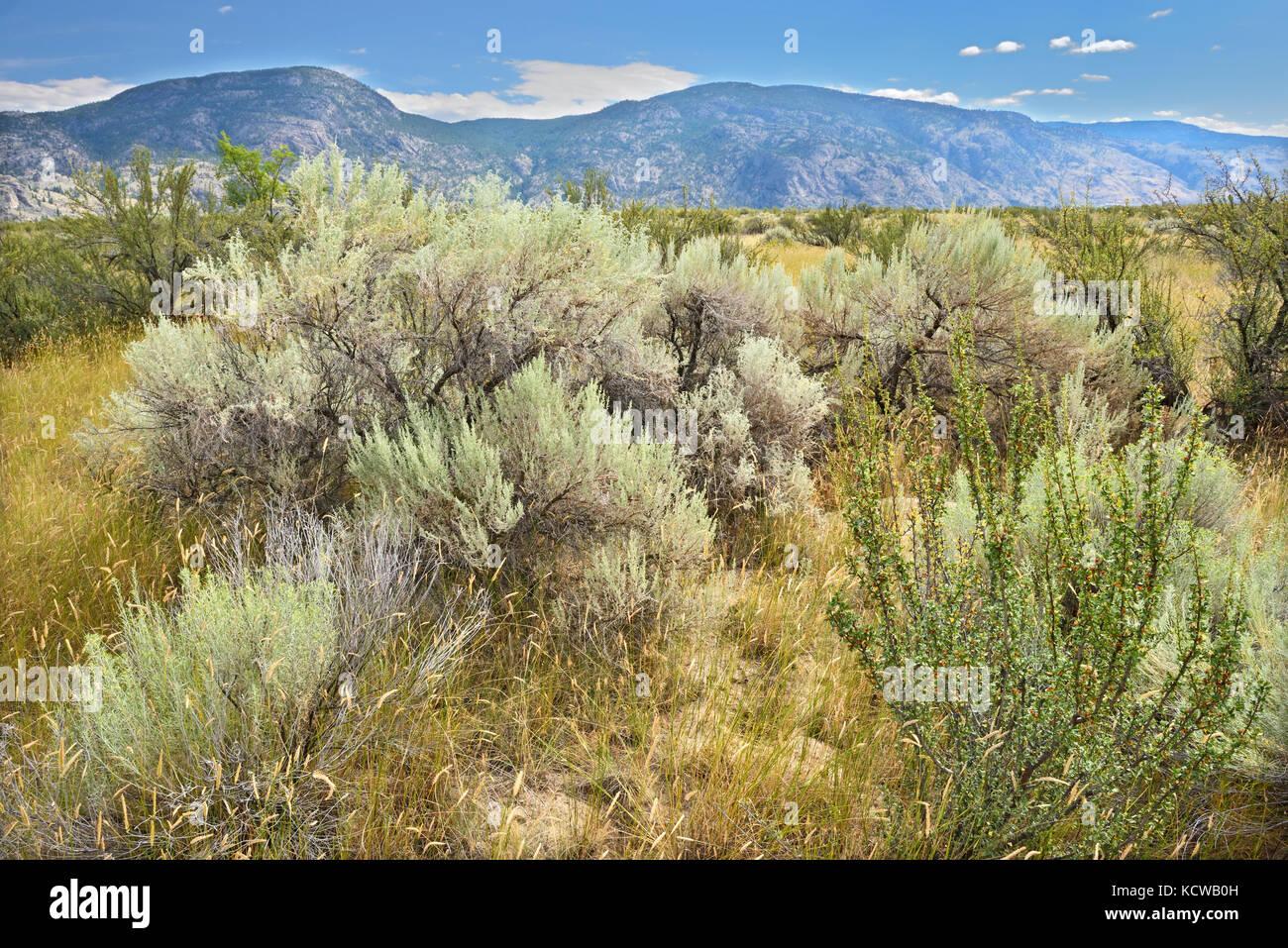 Sagebrush in Antelope-brush ecosystem. Okanagan Valley, Osoyoos, British Columbia, Canada - Stock Image