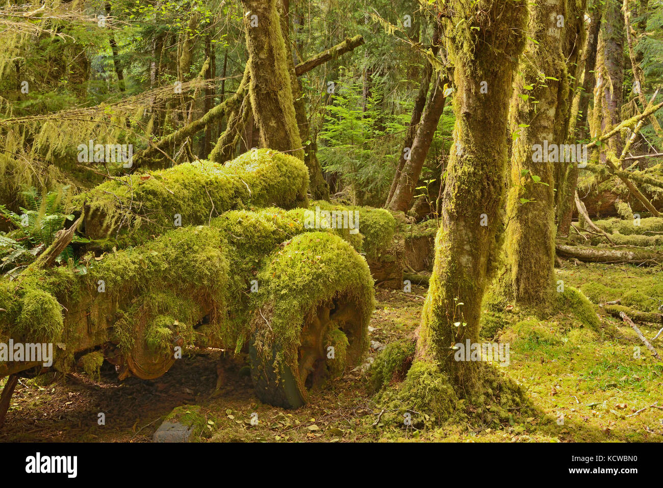 old logging site where Sitka Spruce trees in the early 1940's were harvested for the contruction of mosquito - Stock Image