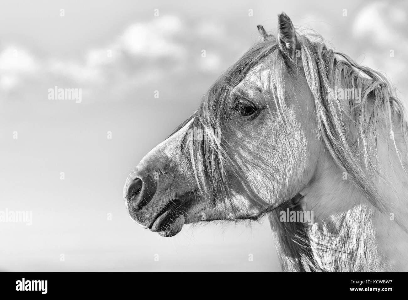 White Stallion Portrait Black and White - Stock Image