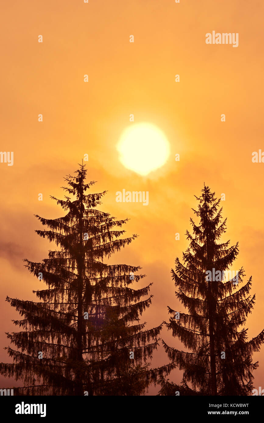 Evergreen trees at sunrise in fog, Prudhomme Lake Provincial Park , British Columbia, Canada - Stock Image