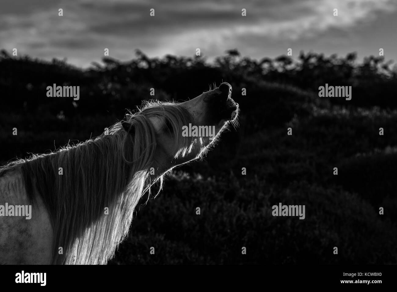 Wild Horse Stallion Sniffing Air, Flehmen Response, Black and White - Stock Image