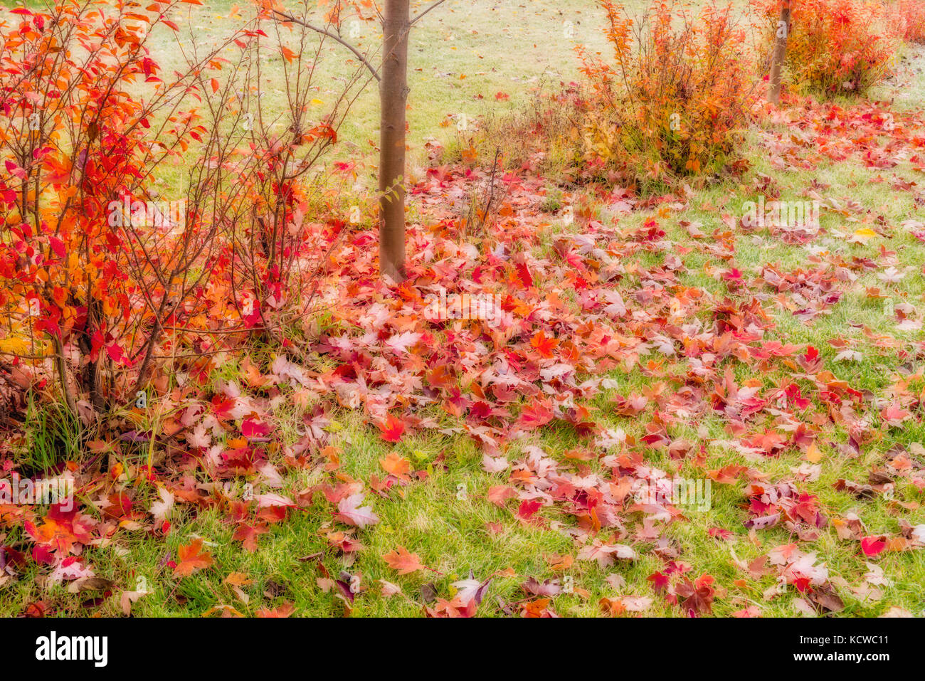 Shrubs in autumn color, Winnipeg, Manitoba, Canada - Stock Image