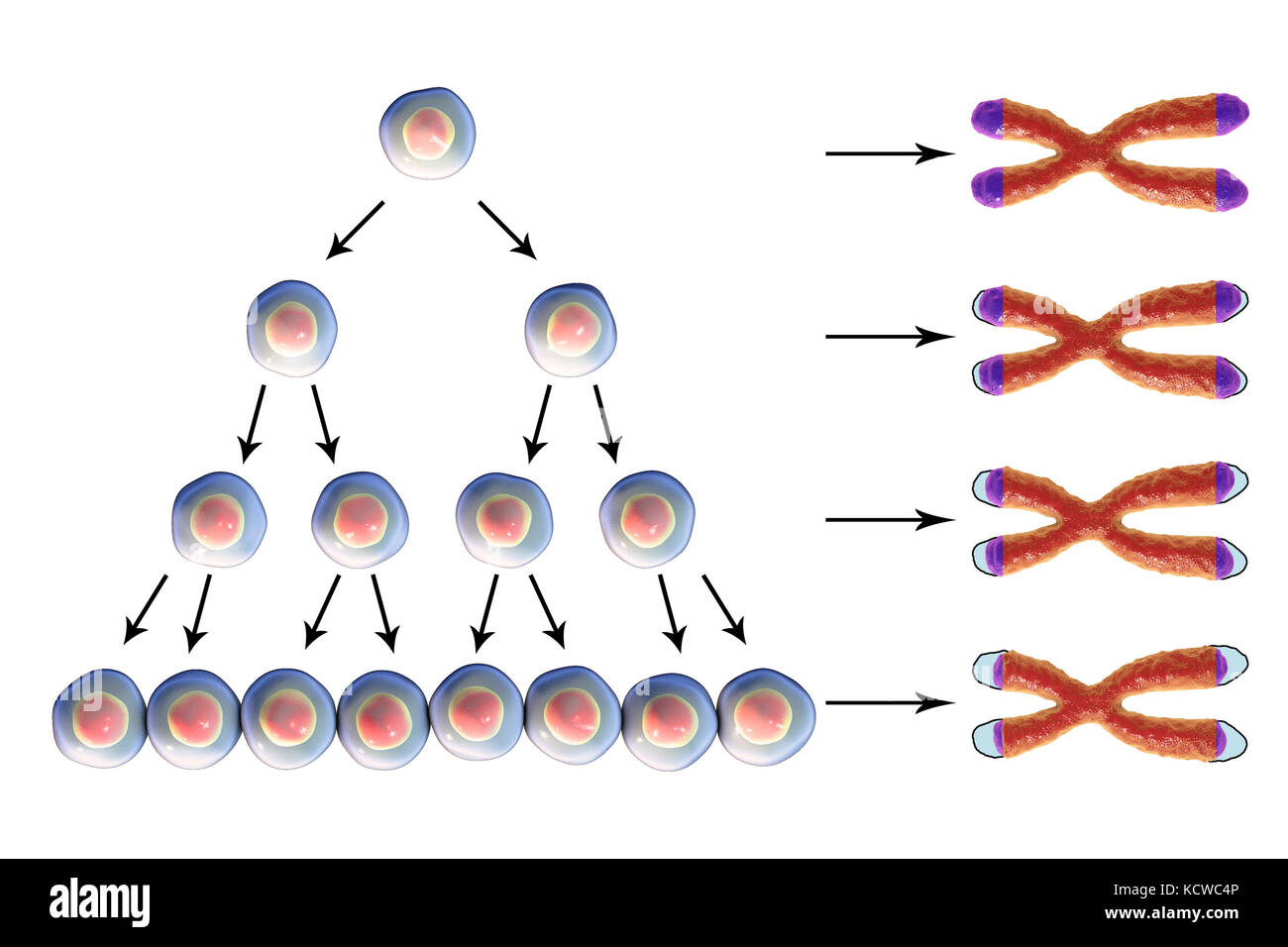 Telomere shortening with each round of cell division, conceptual illustration. Telomeres, the caps on chromosomes, - Stock Image