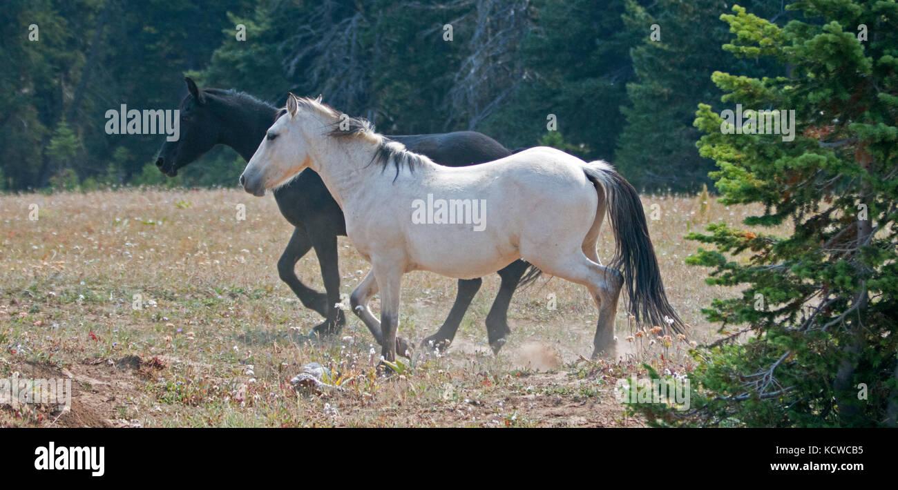 Apricot Dun Buckskin Stallion And Black Stallion Wild Horses Running Stock Photo Alamy