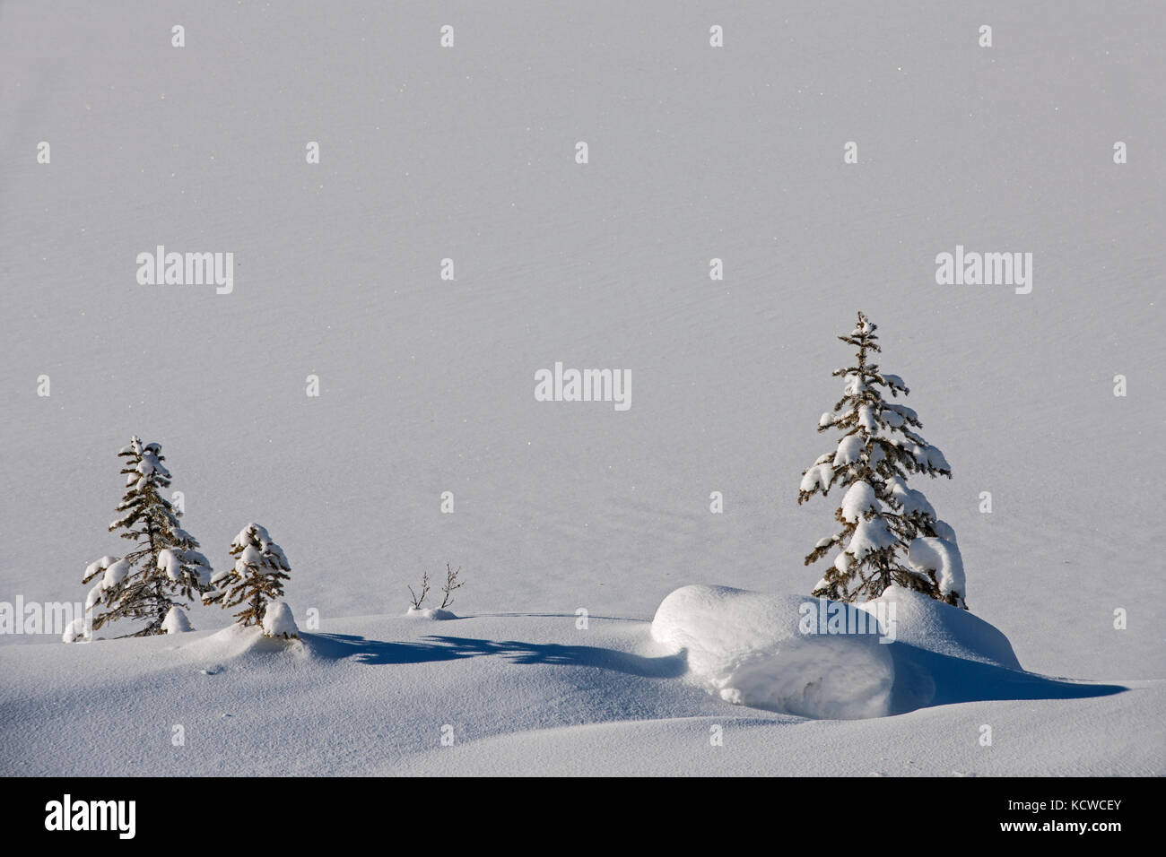 Coniferous tree saplings in snow, Kootenay National Park, British Columbia, Canada - Stock Image