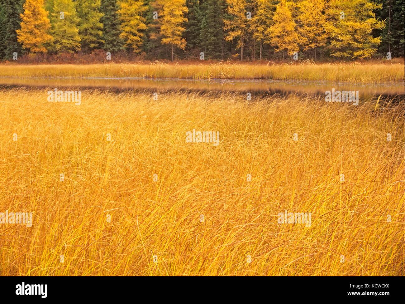 Marsh and larches, Near Raith, Ontario, Canada Stock Photo