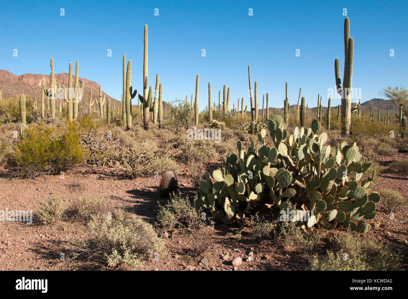 Prickly Pear and Saguaro cactus, Saguaro National Park, AZ, USA - Stock Image