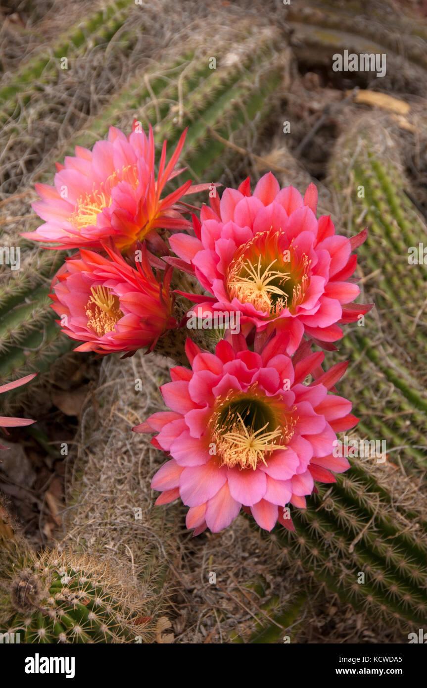 Trichocereus hybrid cactus blooming in Arizona yard, Sedona, AZ, USA - Stock Image