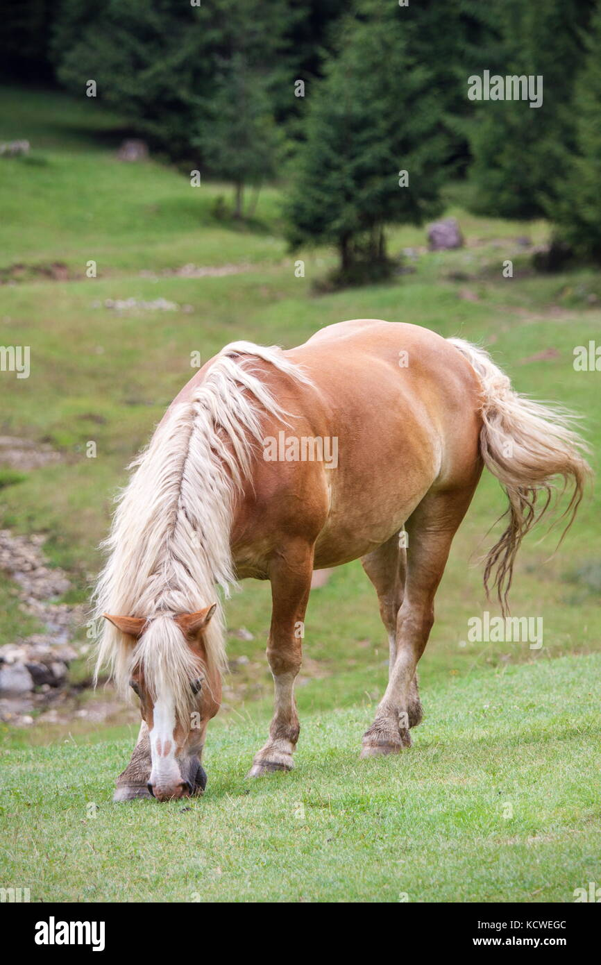 Sorrel horse is grazing in a green mountain meadow - Stock Image