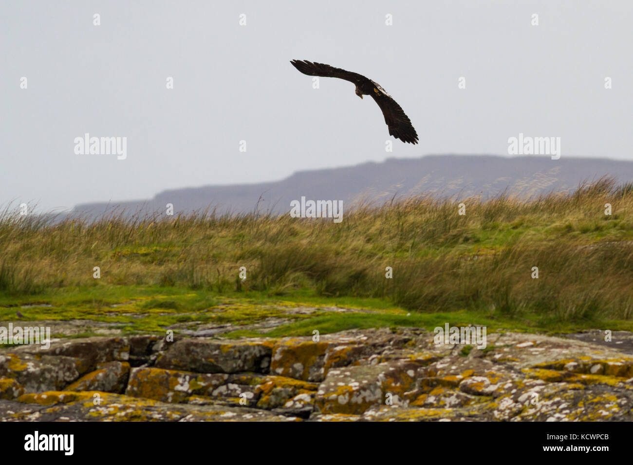 UK wildlife, sea eagle (haliaeetus albicilla) in flight scavenging over the shore of Loch Na Keal on the Isle of - Stock Image