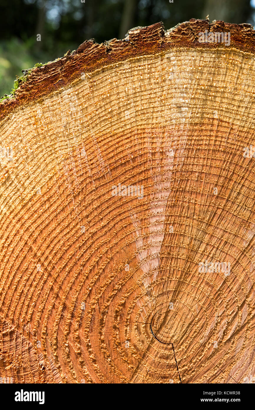 Abstract cross section of large cut Pine tree - Pinus ...