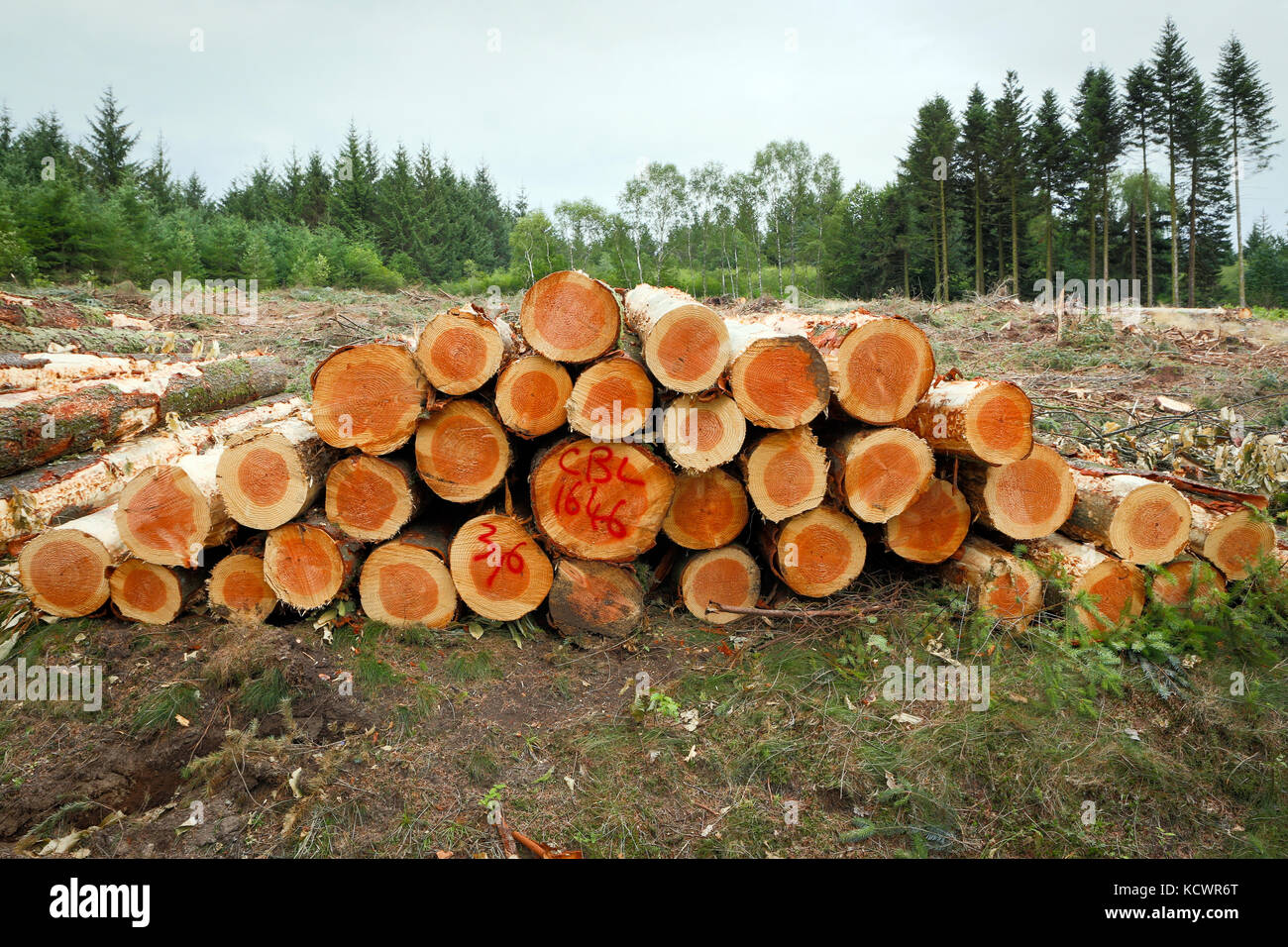 Piled up harvested Pine tree trunks in a deforested landscape. Stock Photo